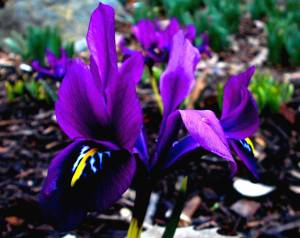 JMU purple gem iris reticulata