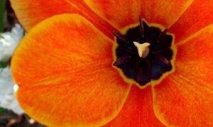 Tulip 7576