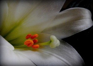 Easter Lily 4666
